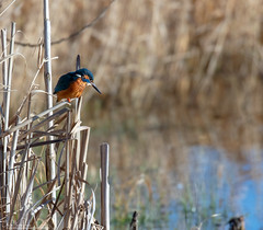 Sunshine and Kingfishers (Steve (Hooky) Waddingham) Tags: animal countryside bird british nature fish fishing wild wildlife water pool pond river