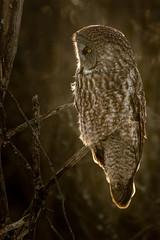 Great Grey Owl (dwb838) Tags: backlit greatgrayowl tree forest