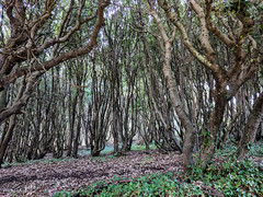 Trees - Durlston Head - Swanage, Dorset (BeerAndLoathing) Tags: 2018 december swanage cellphone england winter uktrip woods google purbeck pixelxl trees forest trip android googlepixel pixel winter2018 unitedkingdom gb