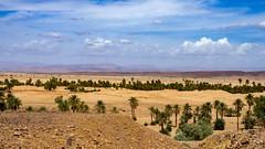 Dates abundance, Sahara, 20150924 (G · RTM) Tags: morocco sahara sand palmtrees mountains atlasmountains