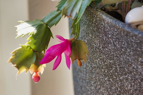 2019-01-27 - Nature Photography - Flowers - Christmas Cactus