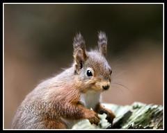 IMG_0039 Red Squirrel (Scotchjohnnie) Tags: redsquirrel sciurusvulgaris squirrel squirrelphotography rodent mammal wildanimal wildlife wildlifephotography wildandfree nature naturephotography canon canoneos canon7dmkii canonef70200mmf28lisiiusm scotchjohnnie