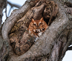 Eastern Screech Owl In The Cold (antonfalco2) Tags: easternscreechowl redmorphscreechowl screechowl owl owls bird birds raptor raptors wildlife birdsofprey nature landscape sunset ontario forest tree trees art light green canada hike animal