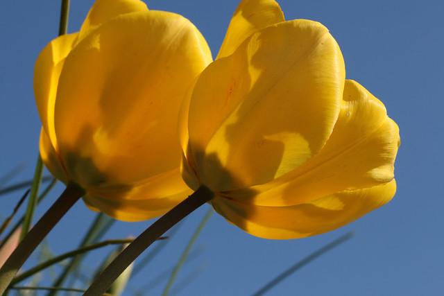 Обои макро, тюльпаны, дуэт, бутоны, жёлтые тюльпаны картинки на рабочий стол, раздел цветы - скачать
