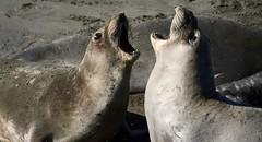 elephant seals (Cathy de Moll) Tags: seal elephant fighting standoff