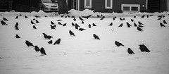 The Murder Of Crows (luke.me.up) Tags: crows nikon d850 bw birds bird snow winter