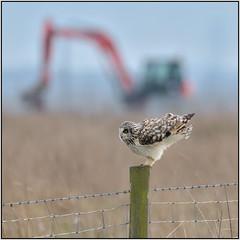 Short-eared Owl (image 3 of 3) (Full Moon Images) Tags: wicken fen burwell nt national trust wildlife nature reserve cambridgeshire bird birdofprey shorteared owl post mechanical digger
