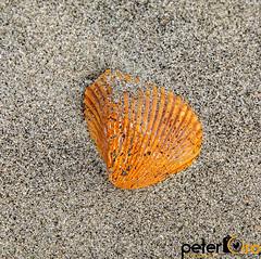 Seashell on Folly Beach Near Charleston, SC (Peter Ciro Photography) Tags: artatlantainstagoodcoloradogsmnppicofthedayweatherlandscapephotographyexploregeorgiaskylineatlantaphotographerwaterfallstennesseephotographynorthcarolinaphotographermills camera:model=canoneos5dmarkiv exif:model=canoneos5dmarkiv camera:make=canon exif:isospeed=100 exif:lens=sigma2470mmf28ifexdghsm exif:focallength=70mm geocountry geostate geo:lat=326406983 geo:lon=7996941 geocity geolocation exif:aperture=ƒ80 exif:make=canon
