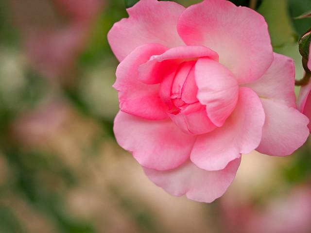 Обои макро, розовая, роза, лепестки, бутон, боке картинки на рабочий стол, раздел цветы - скачать