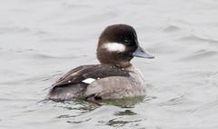 7K8A1079 (rpealit) Tags: scenery wildlife nature edwin b forsythe national refuge brigantine bufflehead duck bird