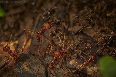 Leafcutter ants (Atta sp.) crossing an army ant line (Labidus sp.) (pbertner) Tags: rainforest rainforestexpeditions southamerica peru perunature madrededios amazon tambopata tambopataresearchcentre trc attasp leafcutterants armyants