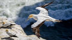 Effortless (Stefan Marks) Tags: animal australasiangannet bird flying gannet morusserrator nature outdoor aucklandwaitakere northisland newzealand