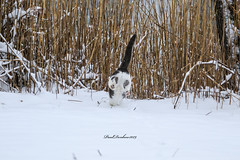 Diving right in (psdenbow) Tags: cat caturday feral feline canon tamron tamron150600 snow maryland