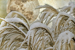 lunatics and the moon (1crzqbn) Tags: moon sliderssunday snow grass textures dof bokeh outside light nature 1crzqbn