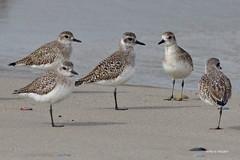 Gray Plovers, Malibu Lagoon, CA CQ4A4096 (Hart Walter) Tags: malibulagoon legacypark royaltern brownpelican grayplover marbledgodwin