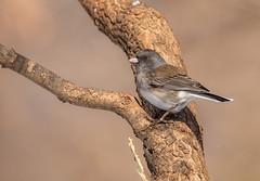 Junco (Lynn Tweedie) Tags: wood beak tail wing canon ngc animal 7dmarkii missouri junco bird white tree feathers eos sigma150600mmf563dgoshsm eye branch