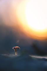 A place in the sun (Fujibert) Tags: lichtstimmung light macro makro mushroom pflanze pilz plant shroom sonne sonnenuntergang sun sunset