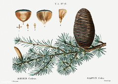 Cedar of Lebanon (Abies cedrus) illustration from Traité des Ar