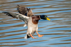 Mallard landing 501_7410.jpg (Mobile Lynn) Tags: wildfowl mallard landing birds ducks nature anasplatyrhynchos anseriformes bird duck fauna wildlife estuaries freshwater lagoons lakes marshes ponds waterfowl webbedfeet hurst england unitedkingdom gb