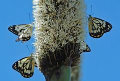 CAPER WHITES! (Uhlenhorst) Tags: 2007 australia australien animals tiere travel reisen blossoms blüten natureinfocusgroup ngc