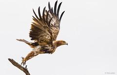 Tawny Eagle take off -8059 (Theo Locher) Tags: aquilarapax birds oiseaux roofarend savannearend tawnyeagle vogels vögel kruger krugernationalpark copyrighttheolocher
