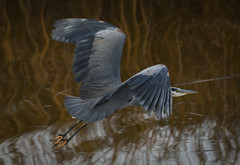 (Ian Threlkeld) Tags: birds nature naturephotography nikon greatblueheron explore explorebc irt bc pittmeadows