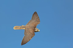 Saker Falcon - these guys are fast (microwyred) Tags: captive icbpnewent outdoors wildlife closeup sakerfalcon nature