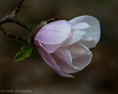 A conservative is a man who just sits and thinks.... (itucker, thanks for 5+ million views!) Tags: macro bokeh magnolia blossom loebnermagnolia dukegardens magnoliablossom hff merrill