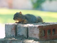 Baby Squirrel (Kaptured by Kala) Tags: sciurusniger foxsquirrel squirrel garlandtexas babysquirrel baby alone cute brickwall outsidemywindow