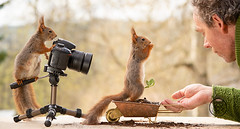 Red squirrel is standing behind a camera and a person with a squirrel (Geert Weggen) Tags: squirrel camera red animal backgrounds bright cheerful close color concepts conservation culinary cute damage day earth environment environmental equipment love valentine flower winter snow photo bouquet model person human man wheelbarrow geert weggen ragunda sweden bispgården jämtland geertweggen hardeko