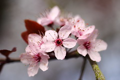 cherry blossoms (bascat) Tags: bascat bas macro canon sigma 70mm f28 flowers british spring pink bokeh
