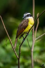 Great Kiskadee (Osprey-Ian) Tags: greatkiskadee costarica
