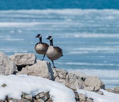 _DSC0630 (doug.metcalfe1) Tags: 2019 canadagoose dougmetcalfe lakeontario nature ontario outdoor tommythompsonpark toronto bird