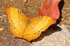 Vindula erota ssp. erota - Namtok Monta Tan_20180212_55DSC_9442_DxO_b (I love comments but delete awards - Jan F. Rasmuss) Tags: heliconiinae nymphalidae nymphalid nymphalids thailand d800 butterfly butterflies macro closeup insecta lepidoptera rhopalocera nikon janfischerrasmussen janfrasmussen asia southeastasia vindulaerota vindula