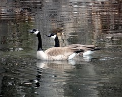 Two geese (EcoSnake) Tags: geese canadageese waterfowl wildlife spring march swimming idahofishandgame naturecenter