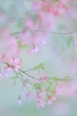 Cherryblossom* (miyunico*) Tags: 京都 長得寺 桜 京都散策 bokeh nature soft airy dreamy canon eos70d 135mm