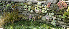 Succulent Wall (charlottes flowers) Tags: wall garden succulents