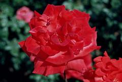 Seht doch, wie mein Heiland neiget (amras_de) Tags: rose rosen ruža rosa ruže rozo roos arrosa ruusut rós rózsa rože rozes rozen roser róza trandafir vrtnica rossläktet gül blüte blume flor cvijet kvet blomst flower floro õis lore kukka fleur bláth virág blóm fiore flos žiedas zieds bloem blome kwiat floare ciuri flouer cvet blomma çiçek