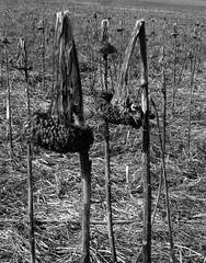 Almost hidden_02 (Barbro_Uppsala) Tags: uppsala sweden sunflowers blackandwhite fs190414 gömd fotosondag fotosöndag gomd