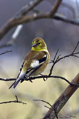 American Goldfinch_4973 (Roger Kiefer) Tags: birds wildlife nature outdoors backyard american goldfinch