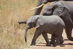 super cute ...... (cirdantravels (Fons Buts)) Tags: ngc olifant éléphant elephant elefant loxodonta africana serengeti elephantcalf filipbuts