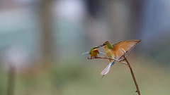 Blue-tailed Bee-eater (jonus weng) Tags: bee eater blue tail fighting kingmen