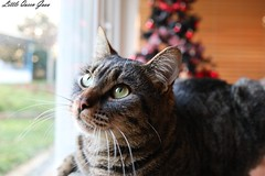 Ruby ♥ (Little Queen Gaou) Tags: cat chat cats chats window fenêtre home maison cosy christmas noël arbre tree family famille animal animals love amour friend ami photography photographie inspiration