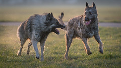 stay behind - I'm the fastest (Hans Zitzler) Tags: oscar dog belgianshepherd tervueren laekenois fun play fast bite power wild running