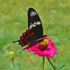 Crimson Rose (Atrophaneura hector) is a large swallowtail butterfly (GVG Imaging) Tags: hampi karnataka india