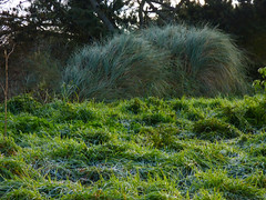 Call Out the Rat Catcher (Steve Taylor (Photography)) Tags: rat grass frost animal newzealand nz southisland canterbury christchurch plant trees shape