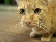 Curious face (Thanathip Moolvong) Tags: cat curious ginger gato pussy neko meow