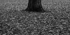 Fall (greenschist) Tags: zenzanonrf65mmf leaves usa cropped missouri stlouis mediumformat film berggerpancro400 blackwhite bronicarf645 towergrovepark fall analog tree