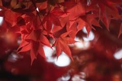 Fall Fantasy (jasohill) Tags: 2018 leaves color beautiful morioka nature photography life city park autumn iwate japan red