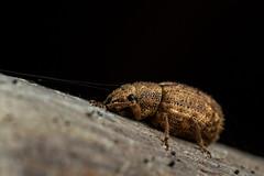 Strophosoma melanogrammum (markhortonphotography) Tags: deepcut surrey sangs macro weevil strophosomamelanogrammum coleoptera surreyheath mindenhurst beetle insect wildlife nature invertebrate